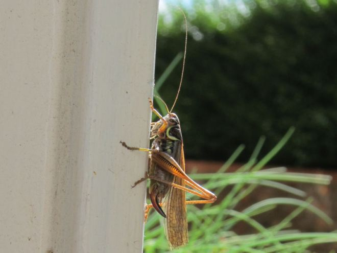 Long winged form of Roesel's bush-cricket for migration