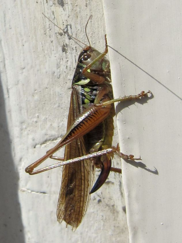 30 A Roesel's bush-cricket in west London