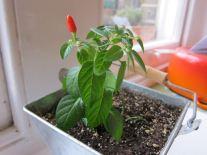 25 My pepper