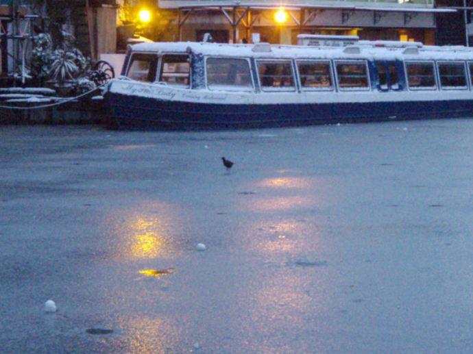 Moorhen on ice.