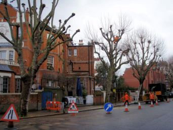 25 They are pollarding the plane trees on our street.