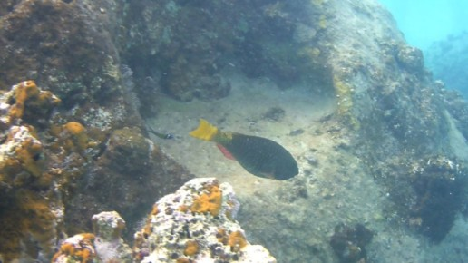 yellowwtail parrotfish