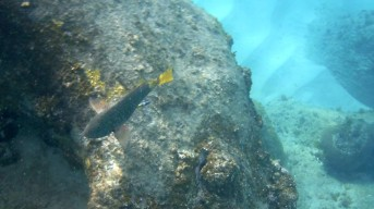 yellowwtail parrotfish, bluehead wrasse