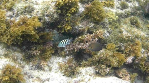 sergeant major, blue tang