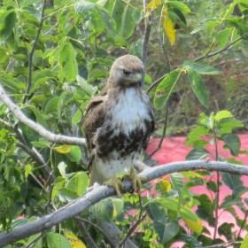 …to hide from the red-tail hawk