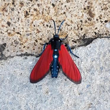 Oleander wasp moth