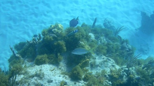 yellowtail snapper, bluehead, blue tang