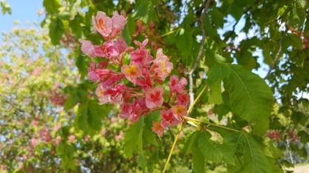 Beech blossom